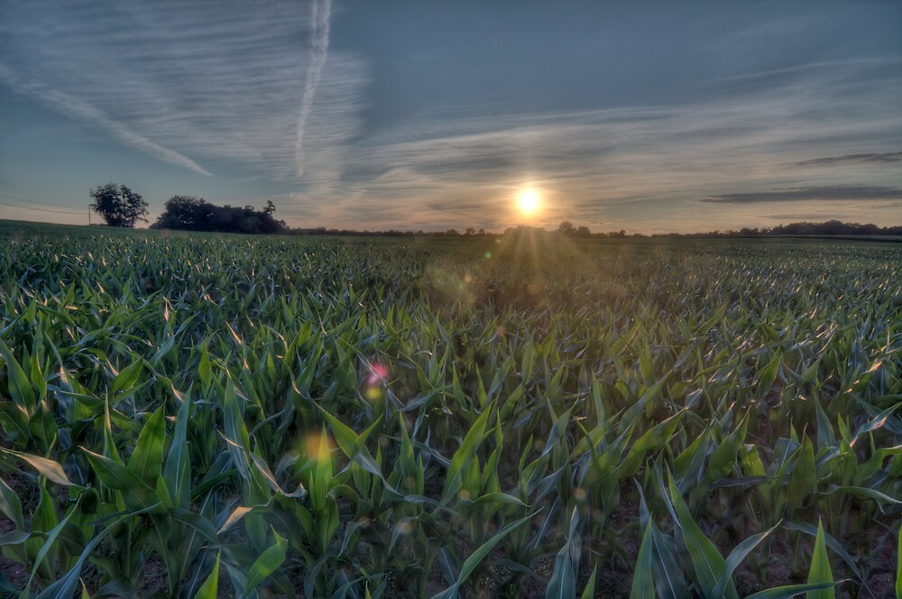 cornfield by Adam Mattel