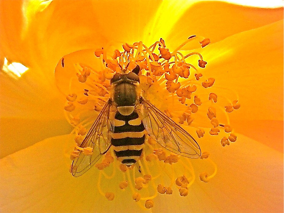 Hoverfly dining on a Rose by George Swann