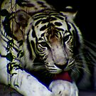 White Tiger by David Cortez
