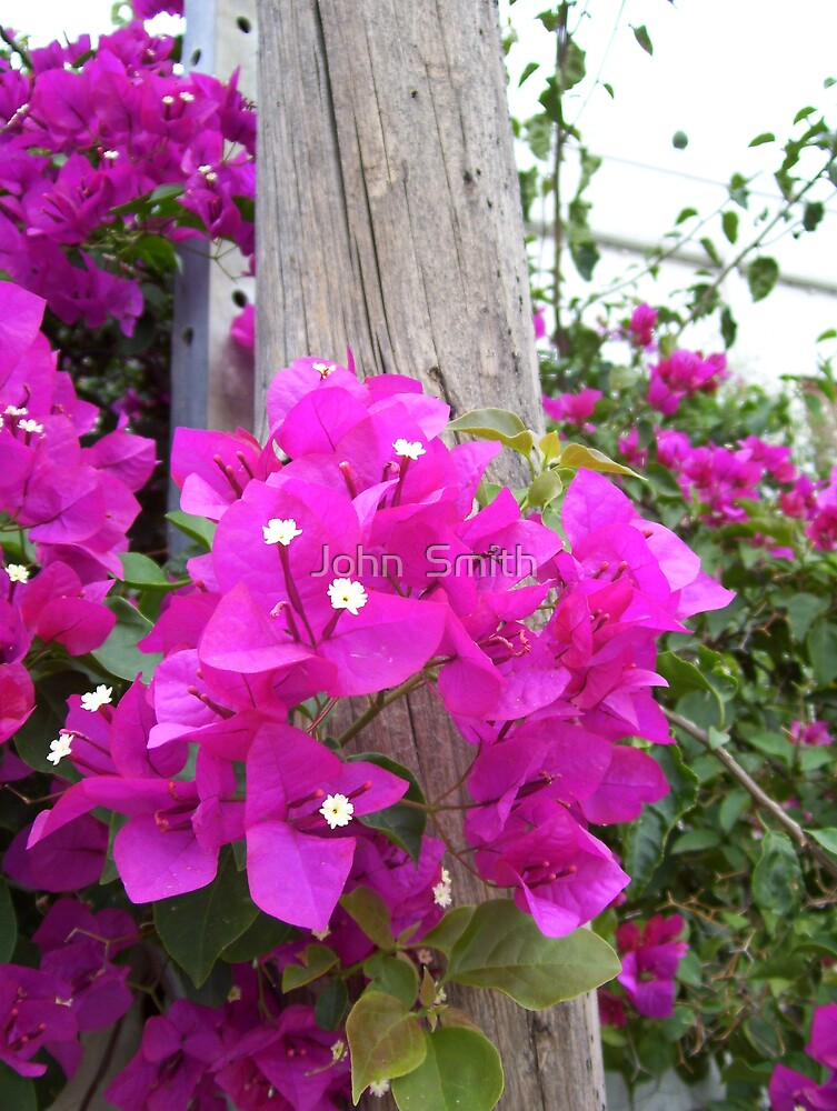 """ Bougainvillea "" by John  Smith"