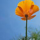 Poppy by Photography  by Jamye