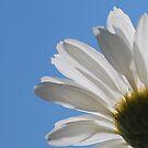 Daisy by Photography  by Jamye