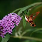 Hummingbird Moth on Butterfly Bush by Adam Bykowski