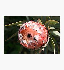 """Wittunga Protea"" Photographic Print"