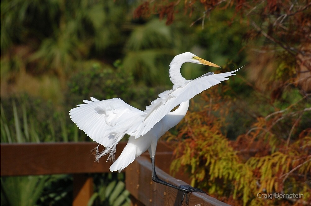 Great Egret Landing by Craig Bernstein