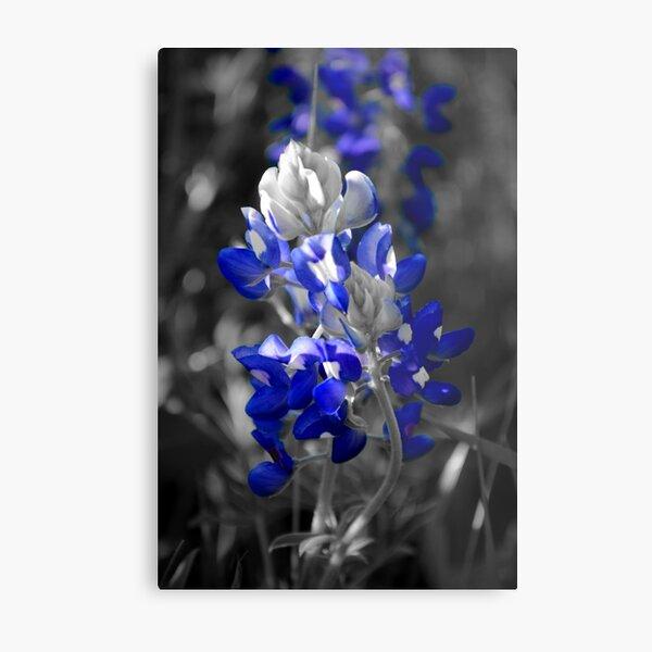 Bluebonnet 001 Metal Print