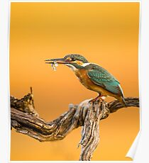 Common Kingfisher (Alcedo atthis), AKA Eurasian Kingfisher Poster