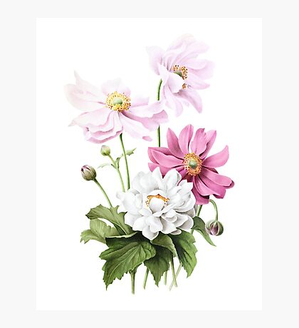 Japanese Anemone Illustration by Pierre-Joseph Redouté  Photographic Print