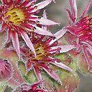 Sempervivum tectorum by solareclips~Julie  Alexander