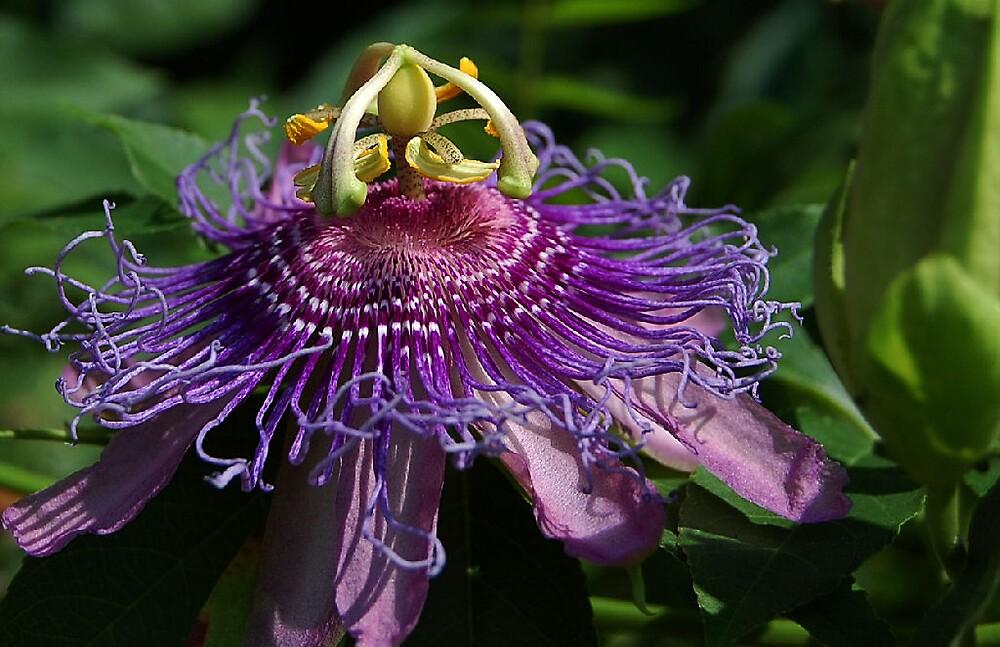 Purple Passion by longshot