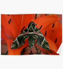 Oleander Hawkmoth on a lily Poster