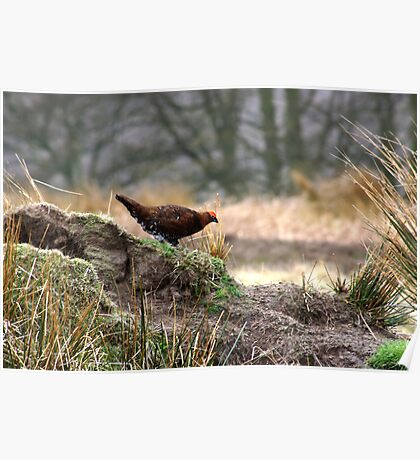 Red_Grouse_2 Poster