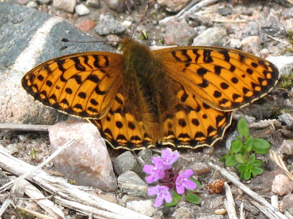 Pearl-Bordered Fritillary by jacqi