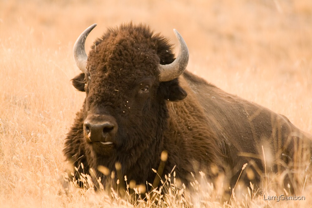 Bison at Rest by LarryGambon