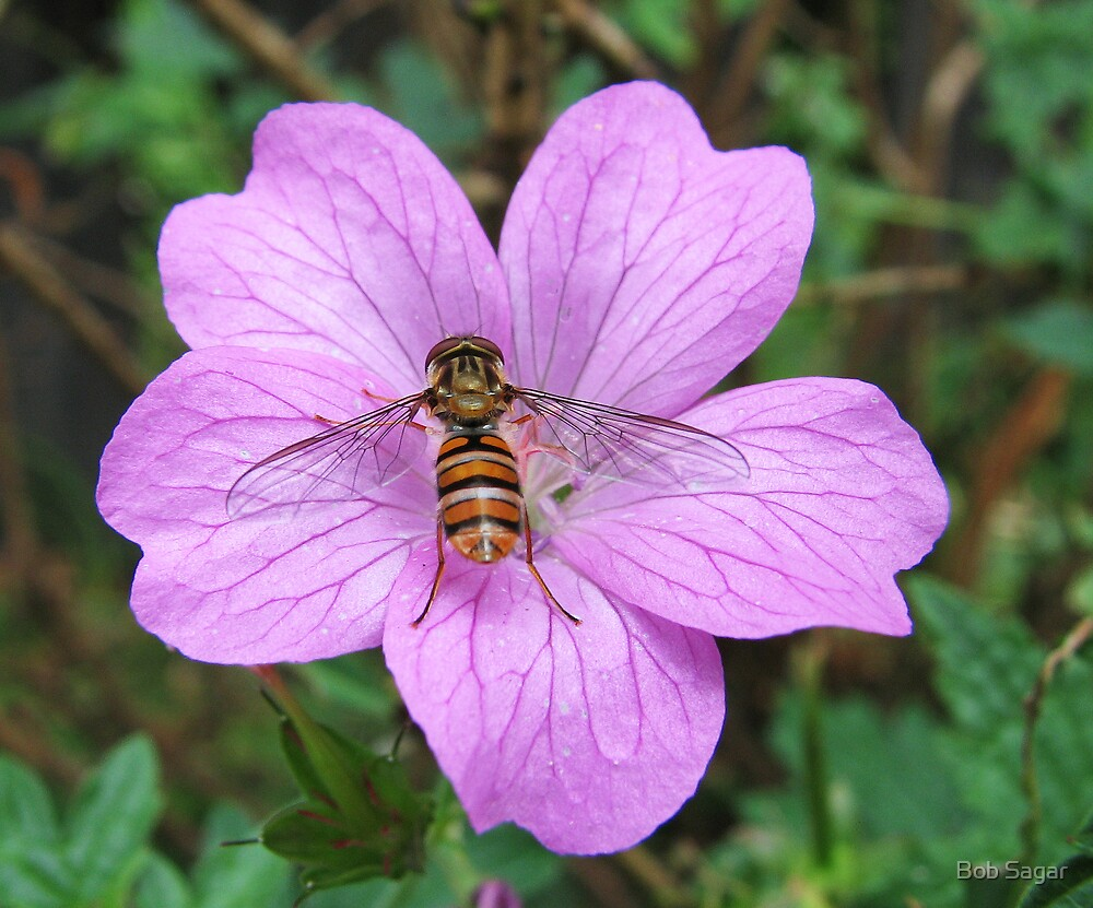 Hoverfly on Geranium by Bob Sagar