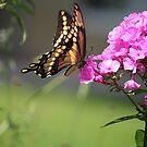 Summer visitor by debfaraday