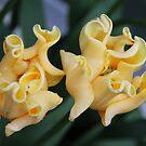 Cream Tulip Twins by AnnDixon