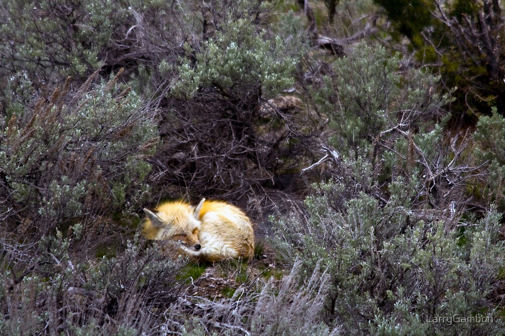 Sleeping Fox by LarryGambon