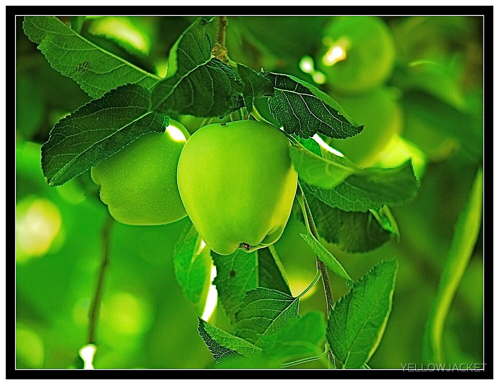 CACHE CREEK FRUIT by YELLOWJACKET