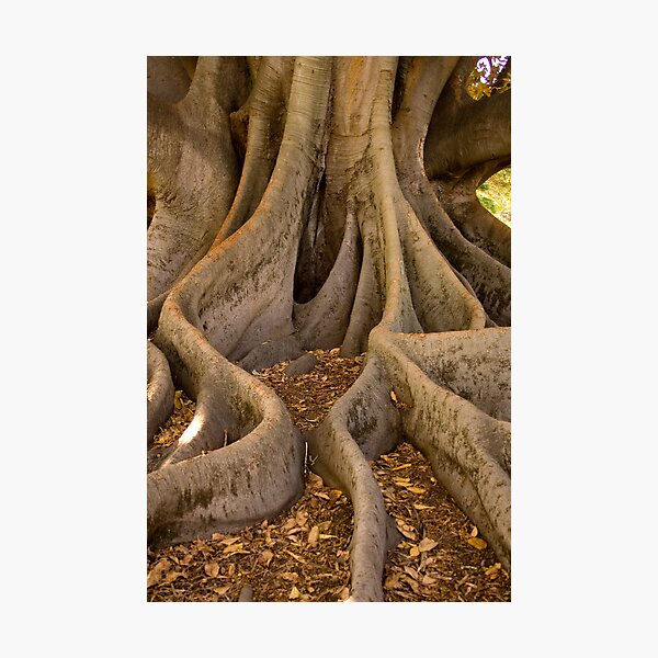 Golden Fig Tree Photographic Print