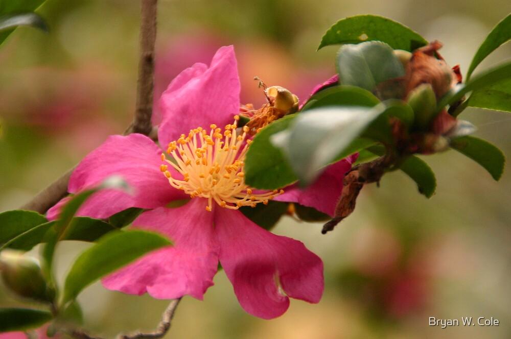 Pink Azalea solo by Bryan W. Cole