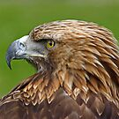 Red Kite by Trevor Kersley
