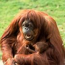 Sumatran orangutan mother with infant In a zoo by PhotoStock-Isra