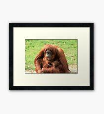 Sumatran orangutan mother with infant In a zoo Framed Print