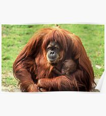 Sumatran orangutan mother with infant In a zoo Poster