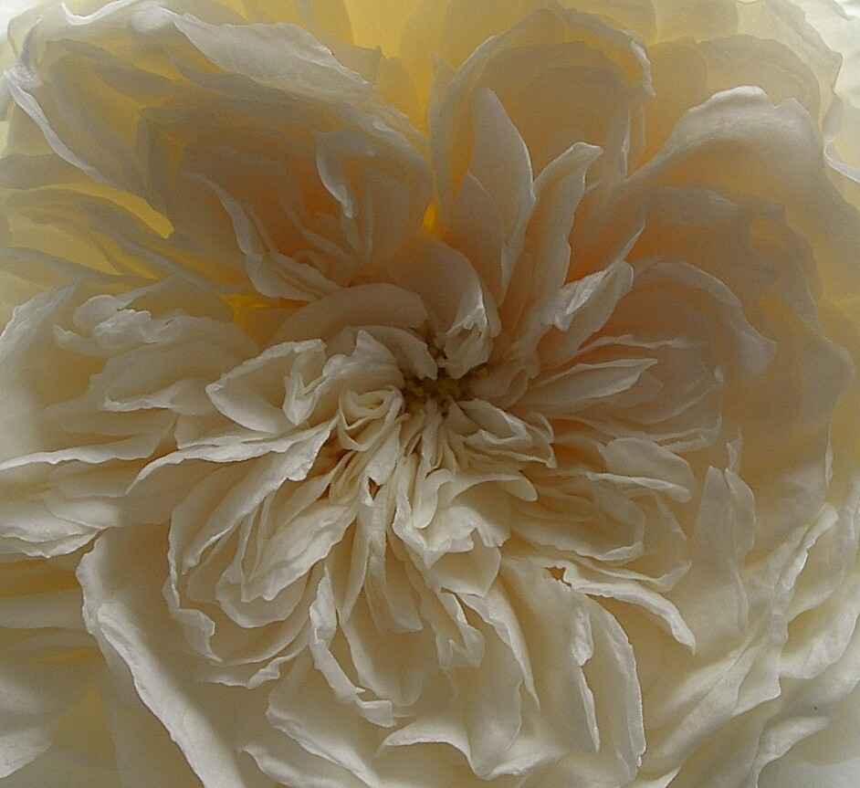 Ruffles by Maureen Brittain