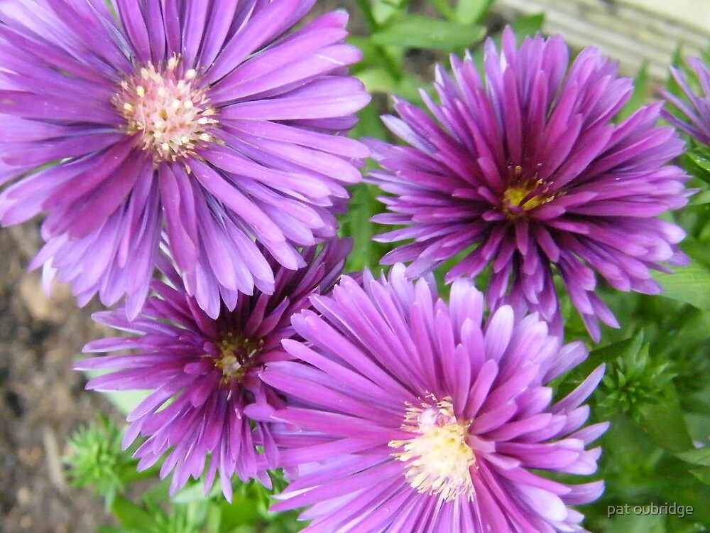 Asters by pat oubridge