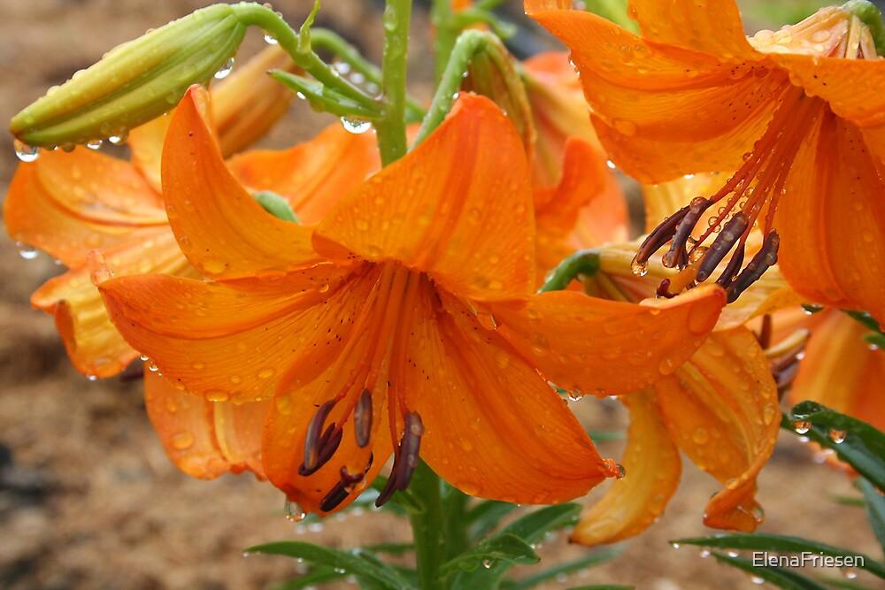 Raindrop Lily by ElenaFriesen