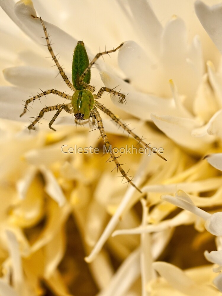 Green lynx spider by Celeste Mookherjee