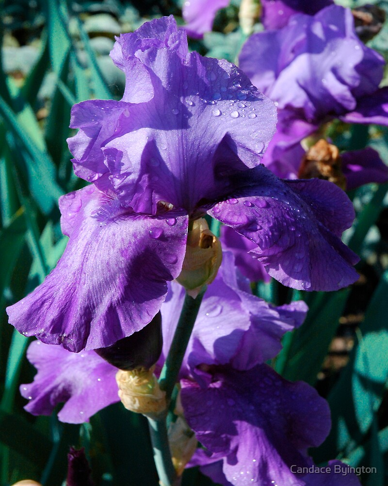 Violet Irises with Waterdrops by Candace Byington