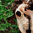 sheep skull by Justin  Robertson