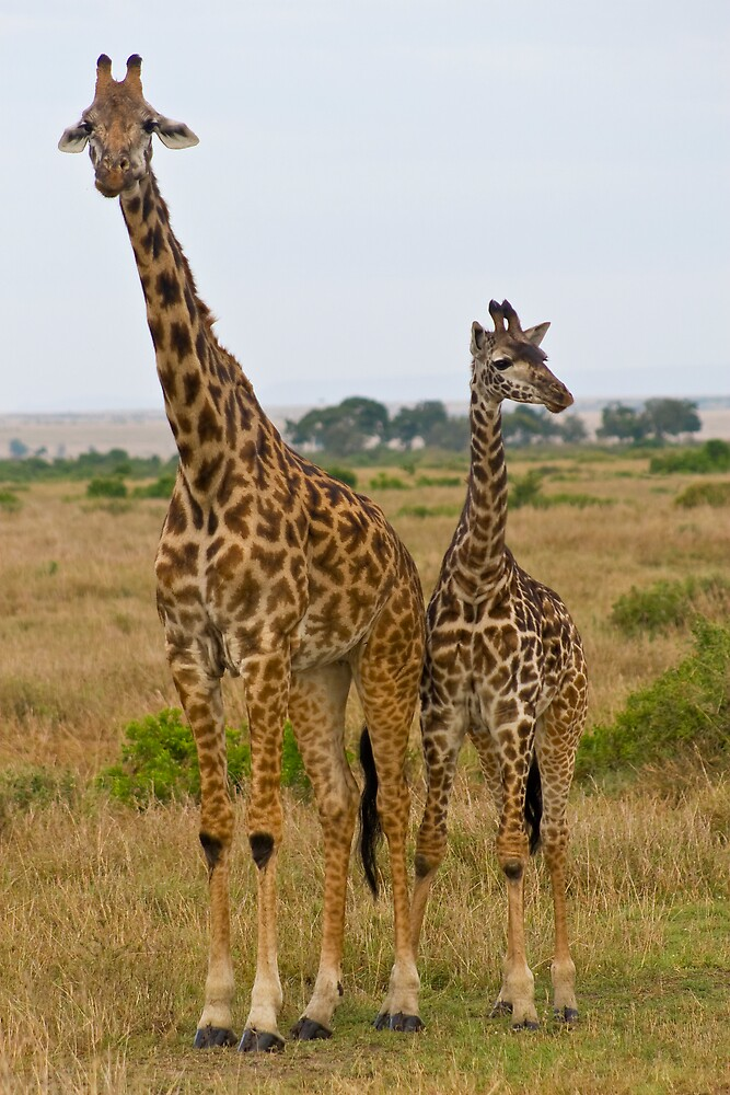 Couple of Giraffes by Ian Robertson