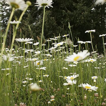 Field of Daisys by SarahEricD
