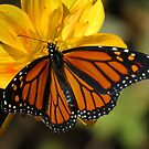 Monarch on Yellow by shutterbug2010