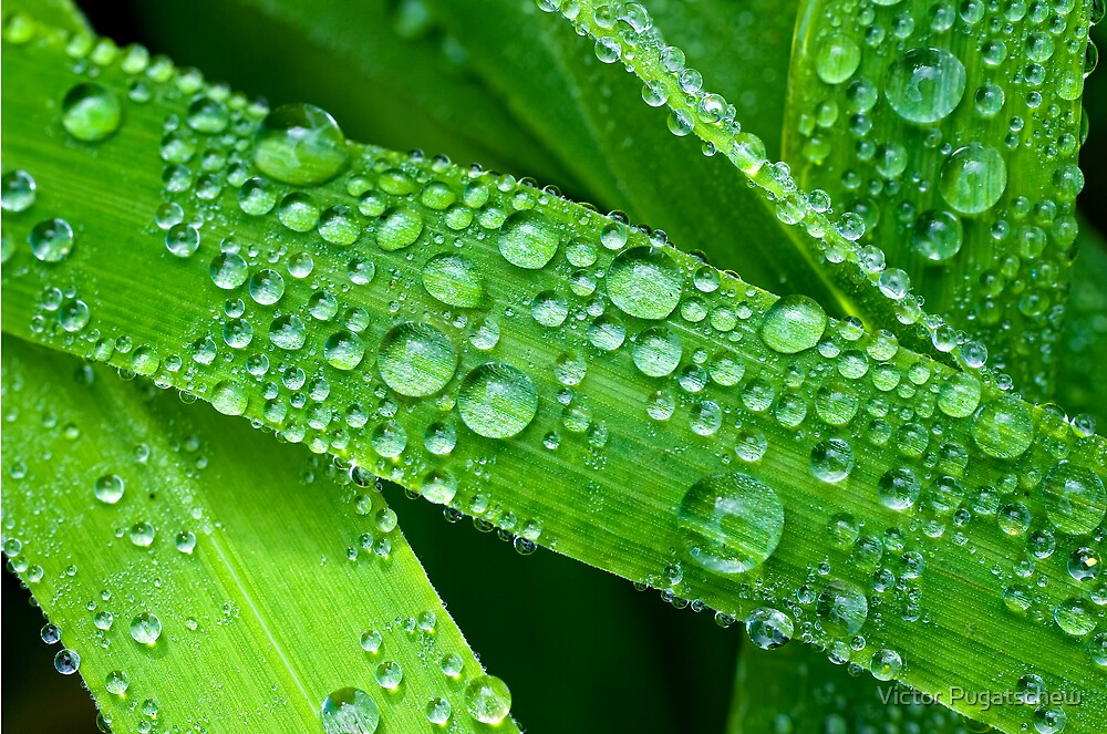 Dew drops by Victor Pugatschew