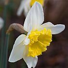 Spring Into It With Daffodils by Joy Watson