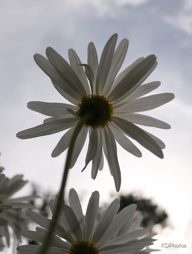 Under a Daisy by KDPhotos