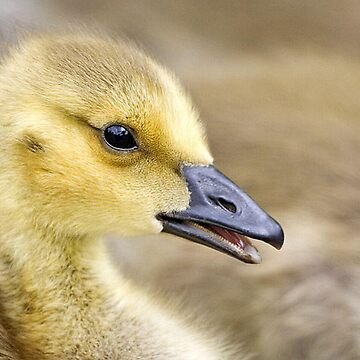 Gosling by jknight401