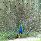 Strutting his Stuff...Toronto Zoo by gypsykatz