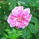 Bulgarian rose by Maria1606