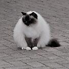 Mr  Cat by Forfarlass