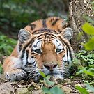 Amur tiger by Stephen Liptrot
