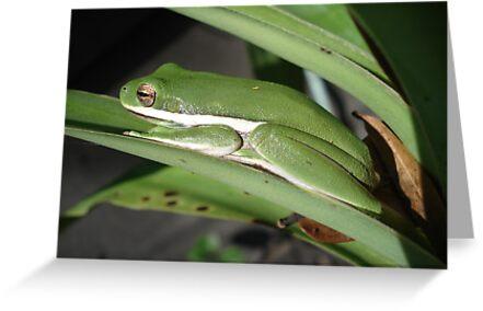 Green Tree Frog by May Lattanzio