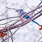 Blue Jay by Lawrence Henderson
