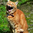A Toothy Grin from Tabby Cat by lynn carter