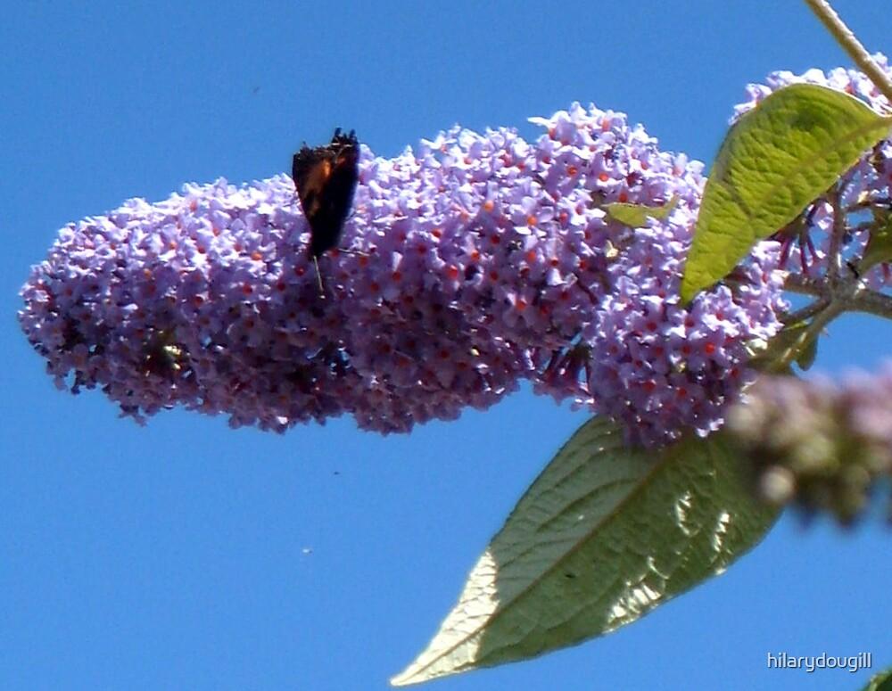 Butterfly on the Buddleja by hilarydougill